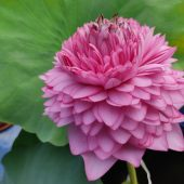 1000-Petal-Lotus-Agri-Aqua-Bd-2